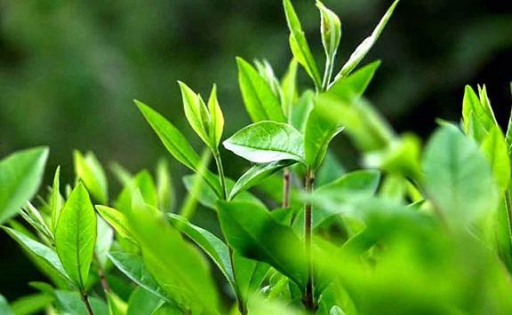 Điểm danh những sản phẩm chiết xuất từ trà xanh giúp làn da căng mọng khỏe đẹp